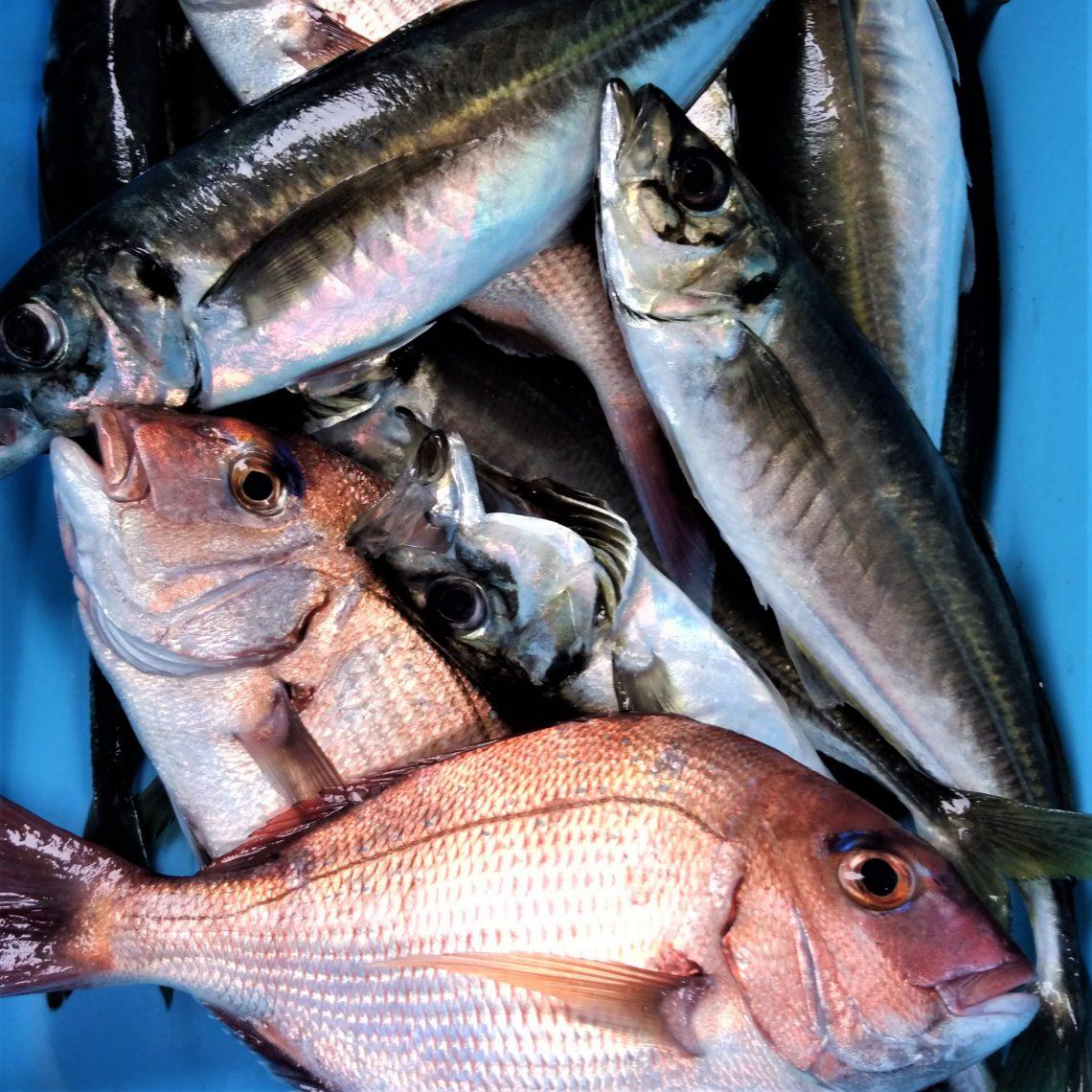 漁師さんが舟盛り体験用の魚を沢山取って来てくれました!